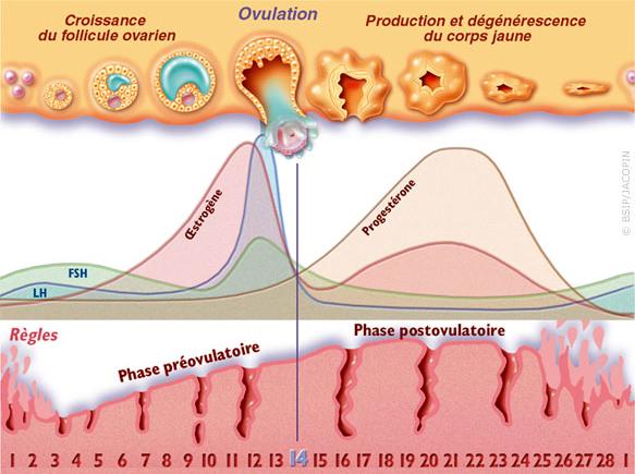cycle menstruel